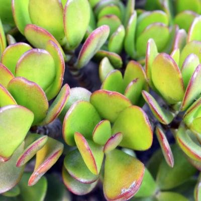 Jade Plant in Hindi